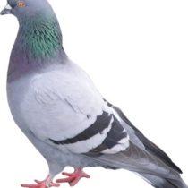 L'algorithme Pigeon (référencement local) a été lancé en France